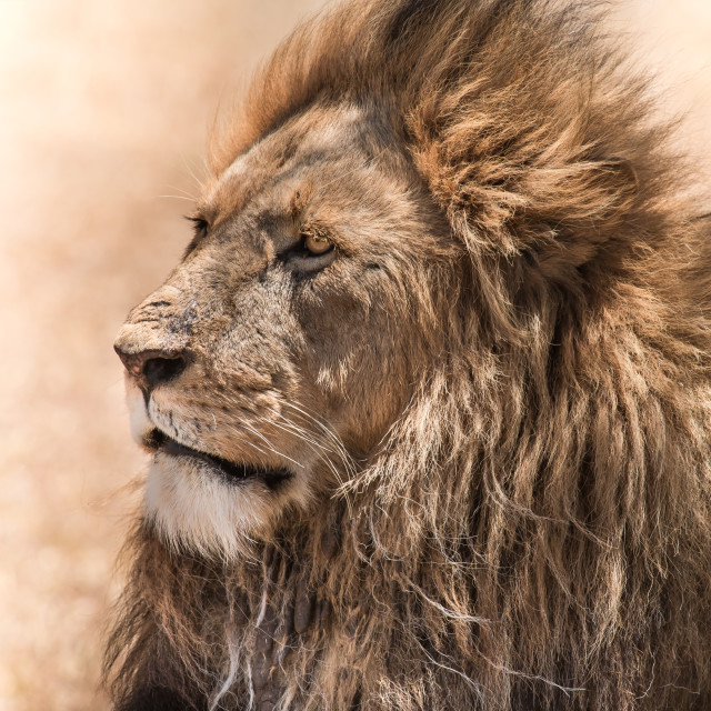 """African Lion"" stock image"
