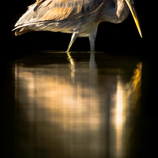 """Great Grey Heron"" stock image"