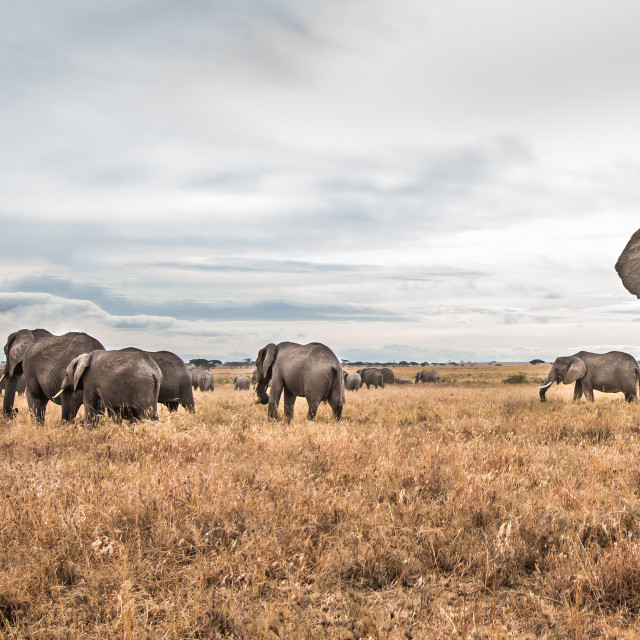 """""""Elephants"""" stock image"""