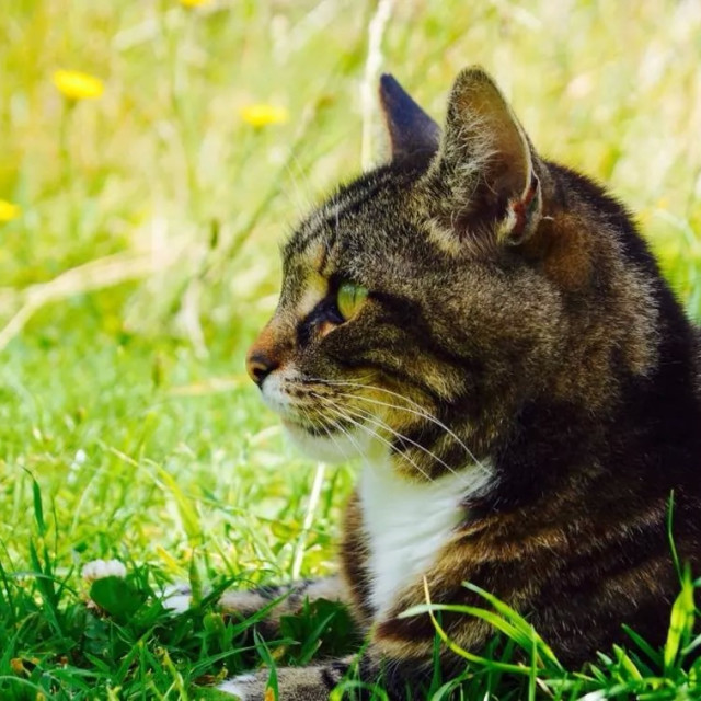 """""""Zebadee the cat in the grass"""" stock image"""