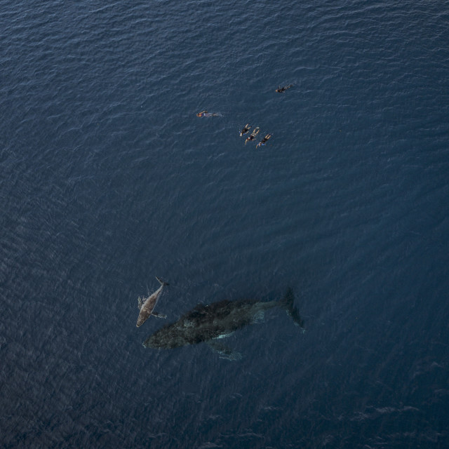 """""""An aerial photograph of a group of snorkelers with a Humpback Whale..."""" stock image"""