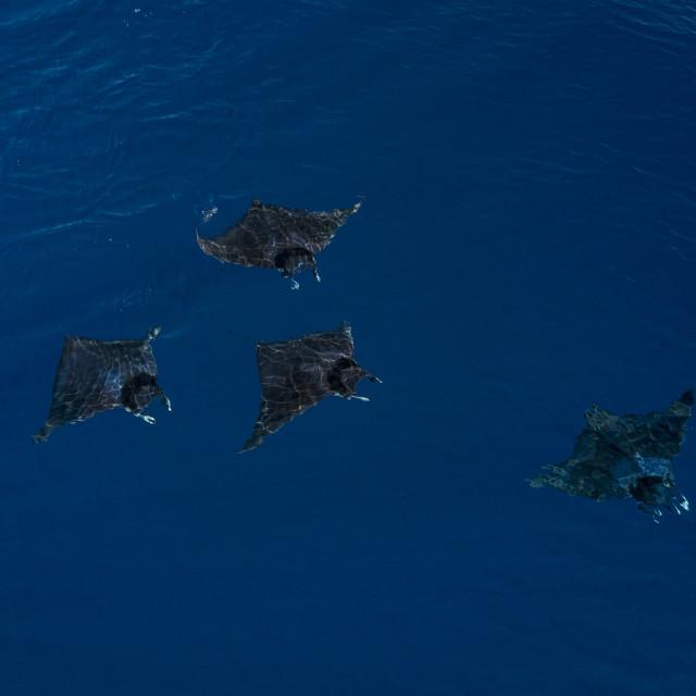 """An aerial photograph of a school of Mobula rays in Vava'u, Tonga"" stock image"