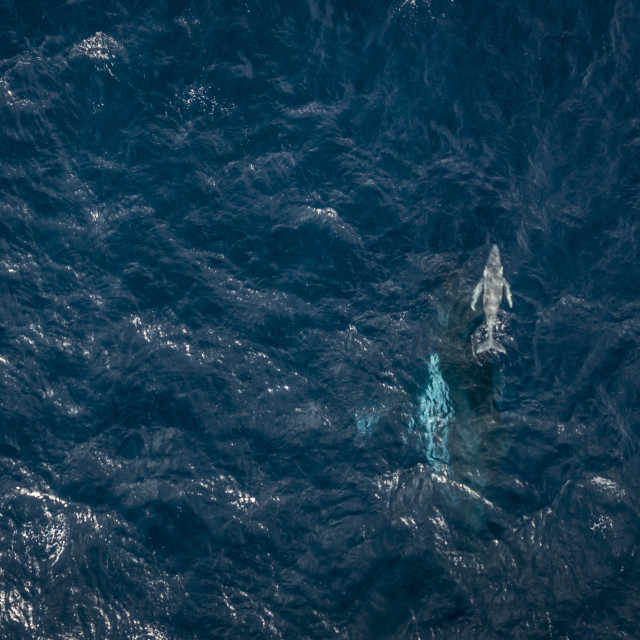 """""""An aerial photograph of a Humpback Whale (Megaptera novaeangliae) and her..."""" stock image"""
