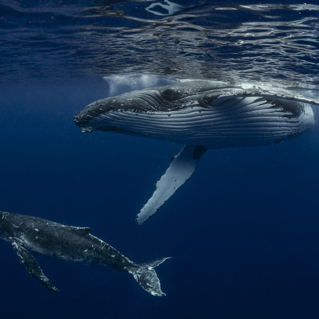 """""""An underwater photograph of a Humpback Whale (Megaptera novaeangliae) and her..."""" stock image"""