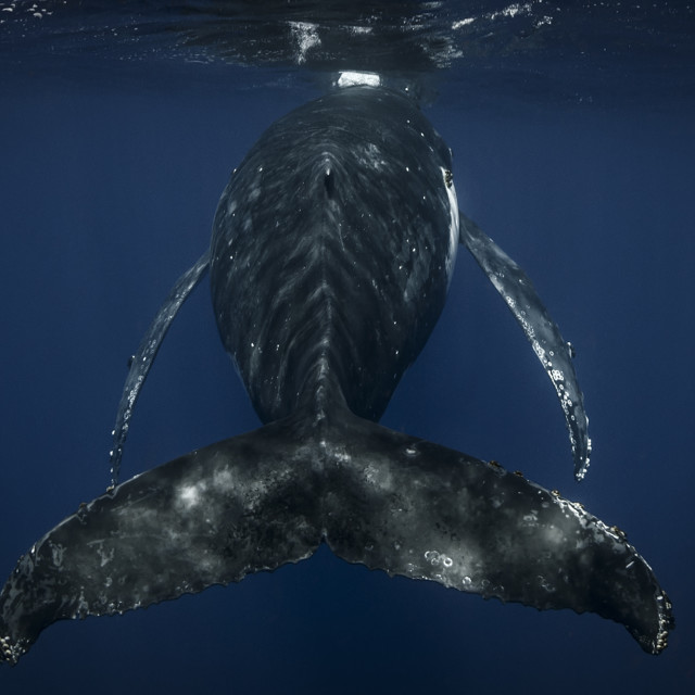 """""""An underwater photograph of a Humpback Whale (Megaptera novaeangliae)..."""" stock image"""