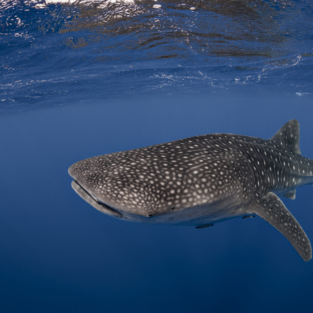 """An underwater photograph of a Whale Shark (Rhincodon typus) pictured in..."" stock image"