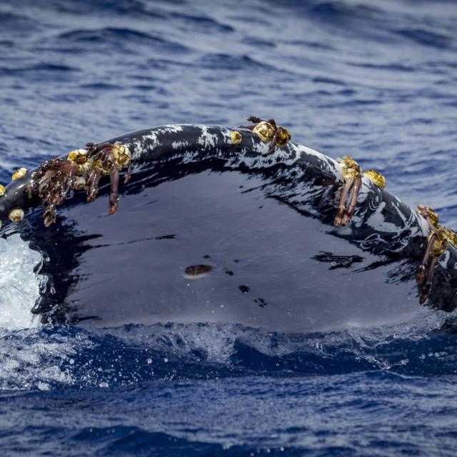"""A Humpback Whale's tail fin (Megaptera novaeangliae) pictured in Vava'u, Tonga"" stock image"