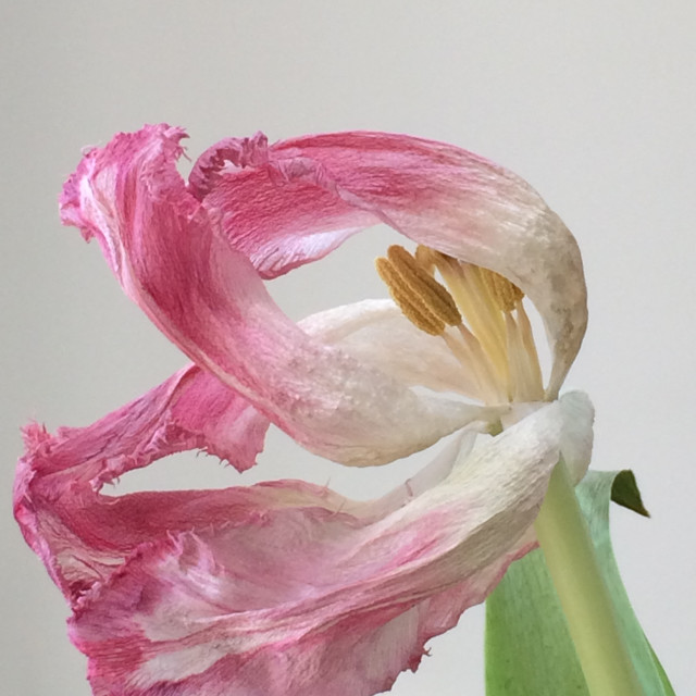 """Wilting Lily"" stock image"