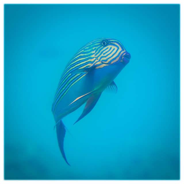 """Lined Surgeonfish"" stock image"