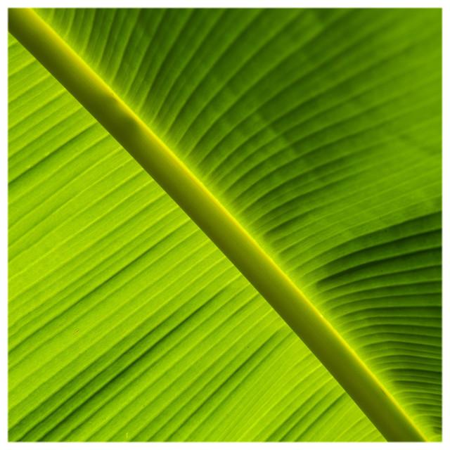 """Banana Rays"" stock image"