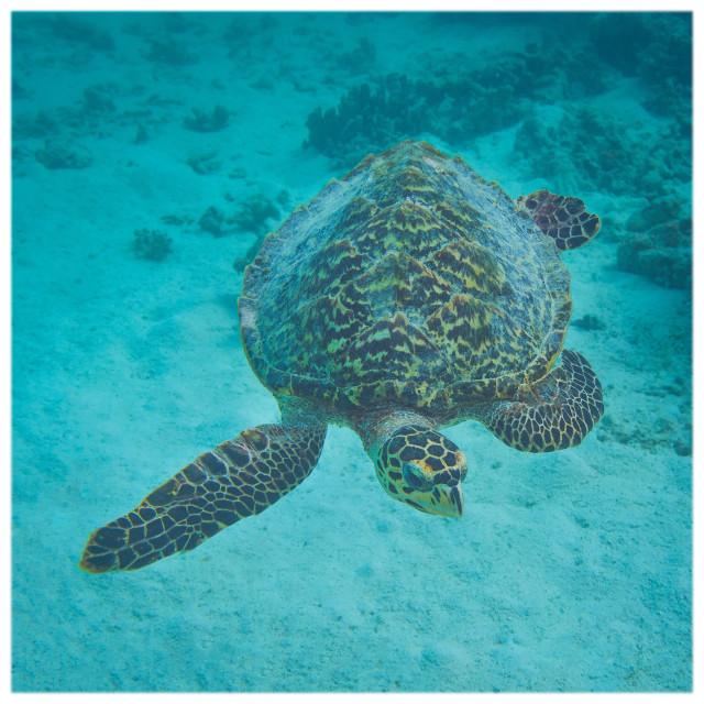 """Maldivian Hawksbill Sea Turtle"" stock image"