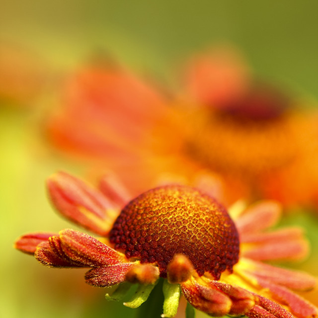 """Colourful rudbeckia flowers"" stock image"