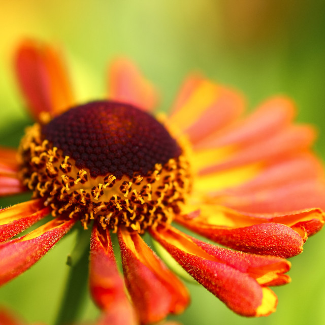 """Colourful rudbeckia flowers"" stock image"