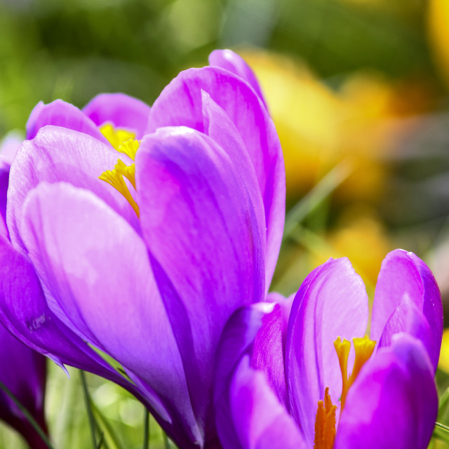 """""""Close up of spring crocuses blooming in a park"""" stock image"""