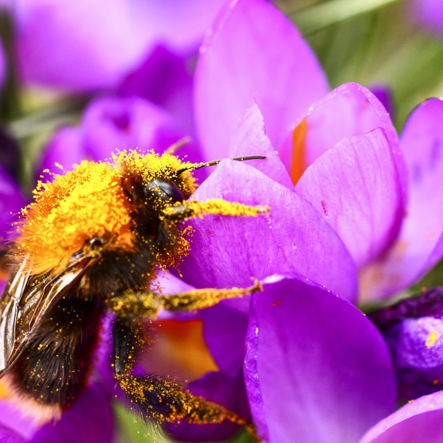 """Bee pollinating a crocus flower on a warm sunny day"" stock image"
