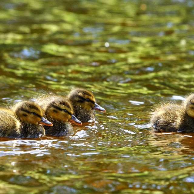 """""""Young baby mallard ducklings separated from their mother swimming on the river"""" stock image"""