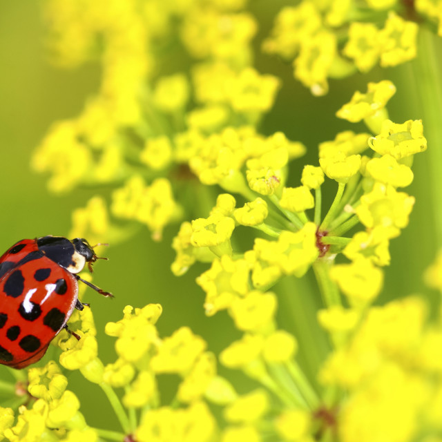 """""""Ladybird clinging to a flowering parsnip plant shot with shallow depth of field for soft focus"""" stock image"""