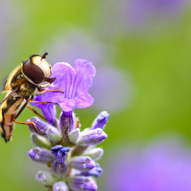 """""""Hoverfly pollinating lavender flowers in a meadow on a warm summer day"""" stock image"""