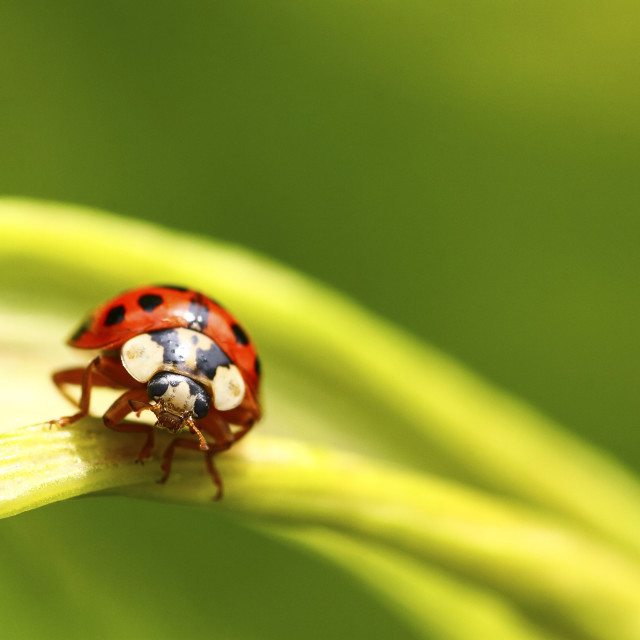"""Ladybird clinging to a flowering parsnip plant shot with shallow depth of field for soft focus"" stock image"
