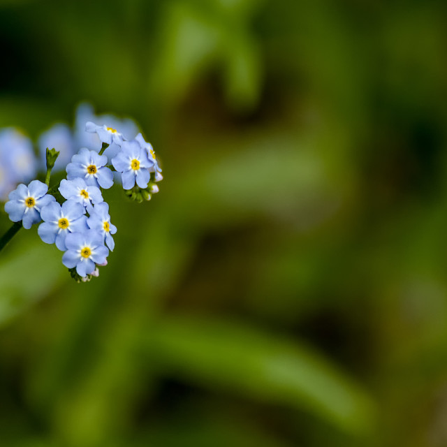 """Forget-me-not blue flowers"" stock image"