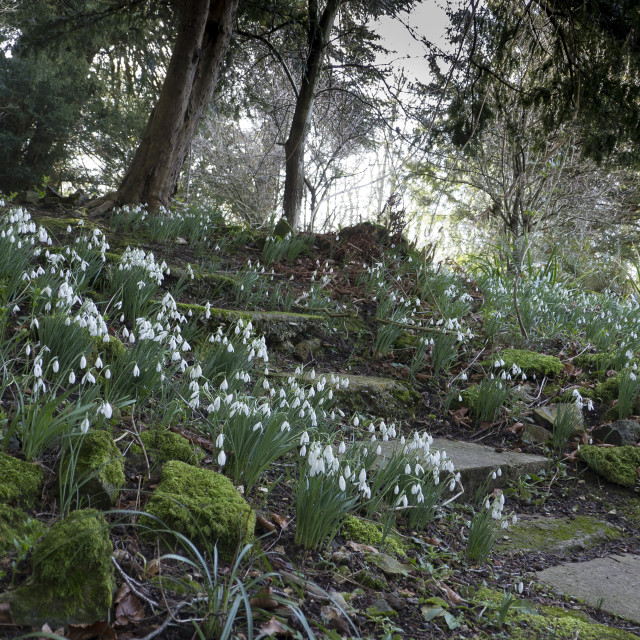"""Snowdrops in the grounds of Chawton House .Hampshire"" stock image"