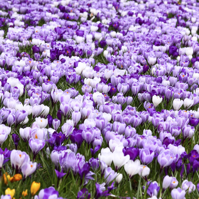 """Springtime crocuses in full bloom"" stock image"