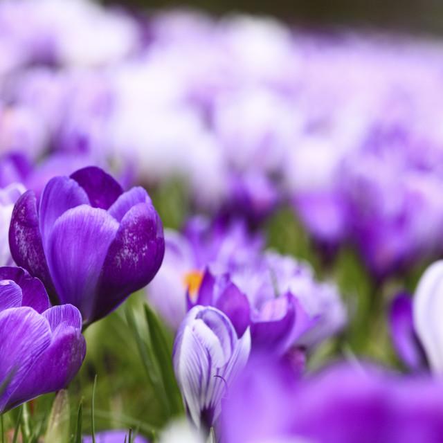 """Springtime crocuses in full bloom"" stock image"