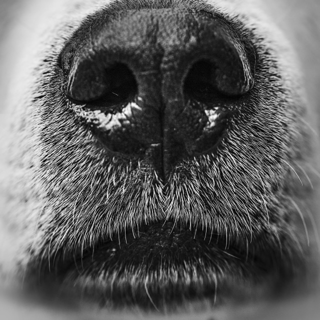 """Dogs nose and mouth"" stock image"