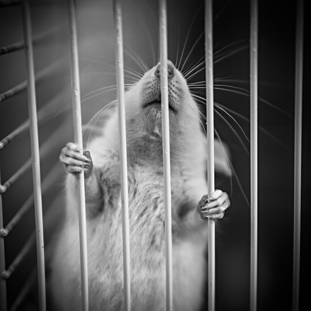 """rat in a cage"" stock image"
