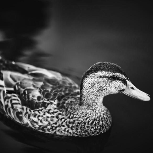 """Duck"" stock image"