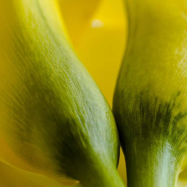 """Macro photos of yellow calla lily flowers"" stock image"