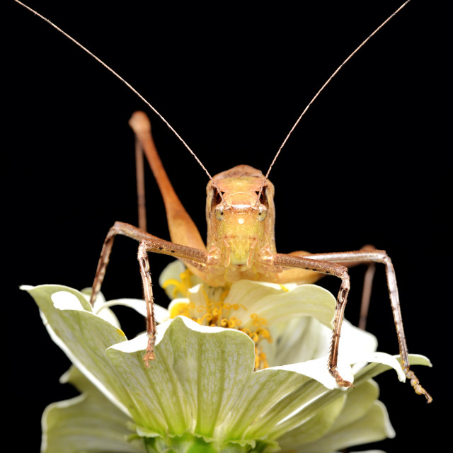 """Portrait of katydid"" stock image"