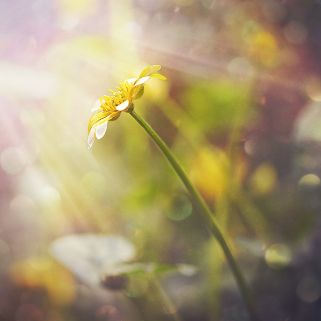 """Sun rays on a flower"" stock image"