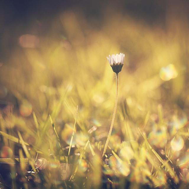 """""""A single daisy"""" stock image"""