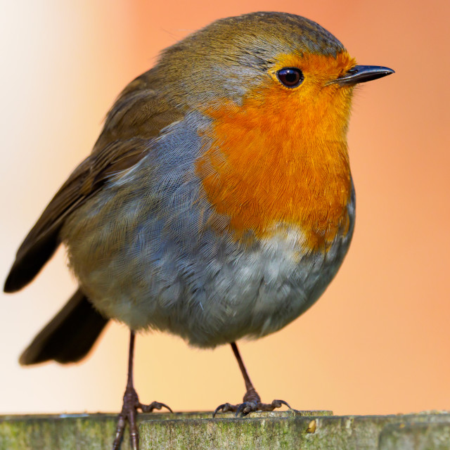 """""""Robin on the fence"""" stock image"""