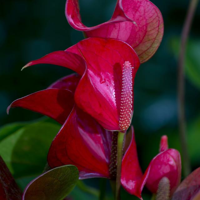 """Anthurium - Flamingo flower"" stock image"