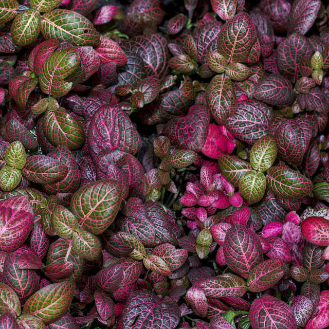 """""""Fittonia albivenis"""" stock image"""
