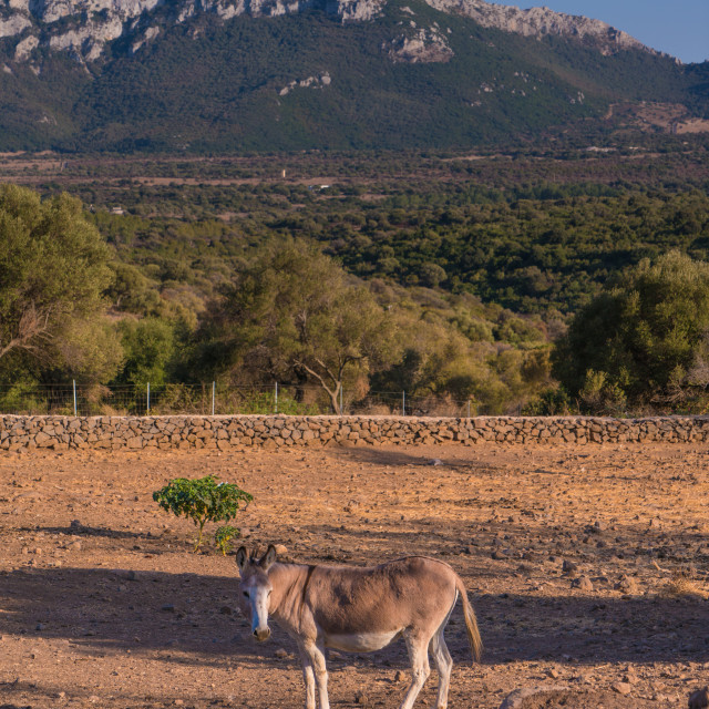 """""""Lonely Donkey in a dry field with mountains in the background"""" stock image"""