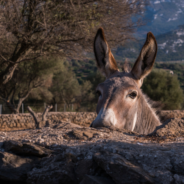 """""""Donkey looking over a stone wall with trees and mountains in the background"""" stock image"""
