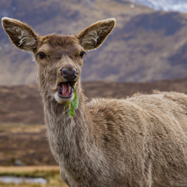 """""""Deer eating lettuce with an open mouth"""" stock image"""