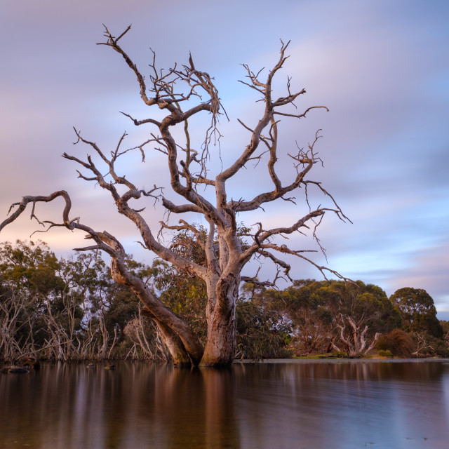 """Dead eucalyptus tree in the middle of a lake at sunset with smooth reflection"" stock image"