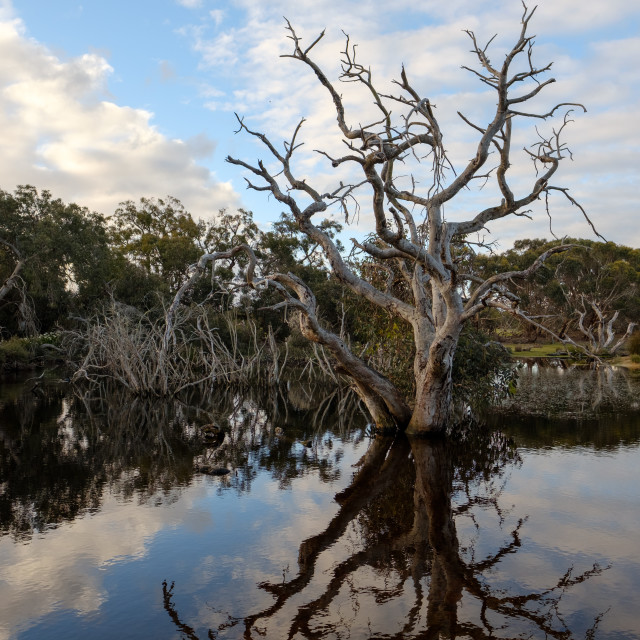 """Dead eucalyptus tree in a lake in the daytime"" stock image"