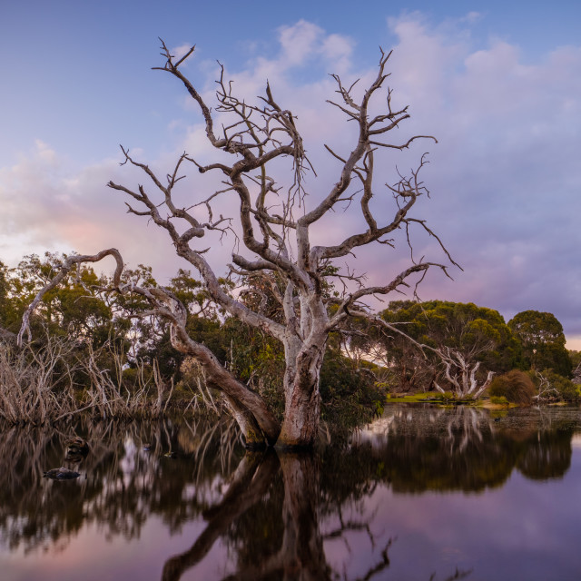 """Dead eucalyptus tree in the middle of a lake at sunset with clear reflection"" stock image"