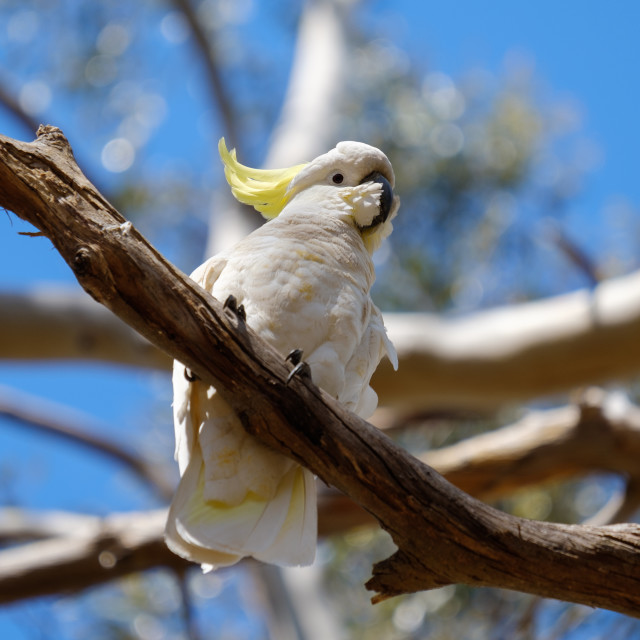 """""""Sulphur-crested Cockatoo sitting on a branch in Australia"""" stock image"""