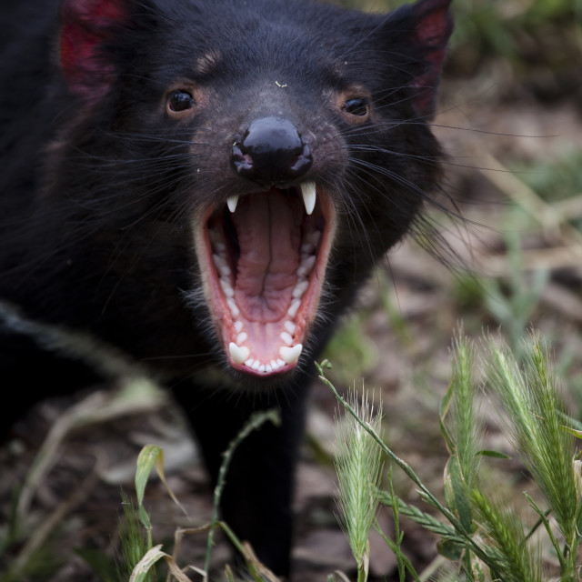 """Tasmanian Devil at Taroona"" stock image"