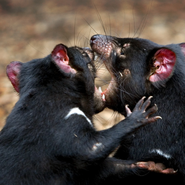 """Tasmanian Devils play fighting"" stock image"