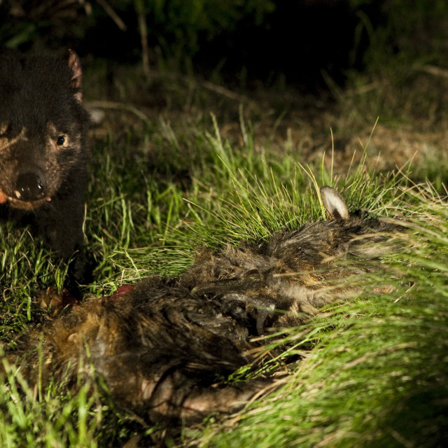 """Tasmanian devil feeding at night, near Arthur River"" stock image"