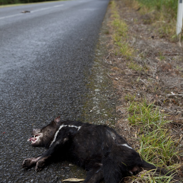 """Roadkill Tasmanian Devil"" stock image"