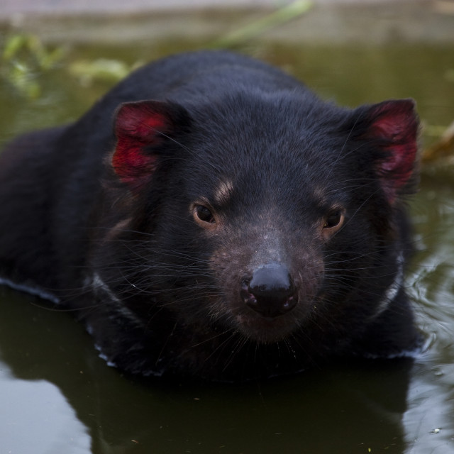 """Insurance: Captive Tasmanian Devils at Taroona"" stock image"