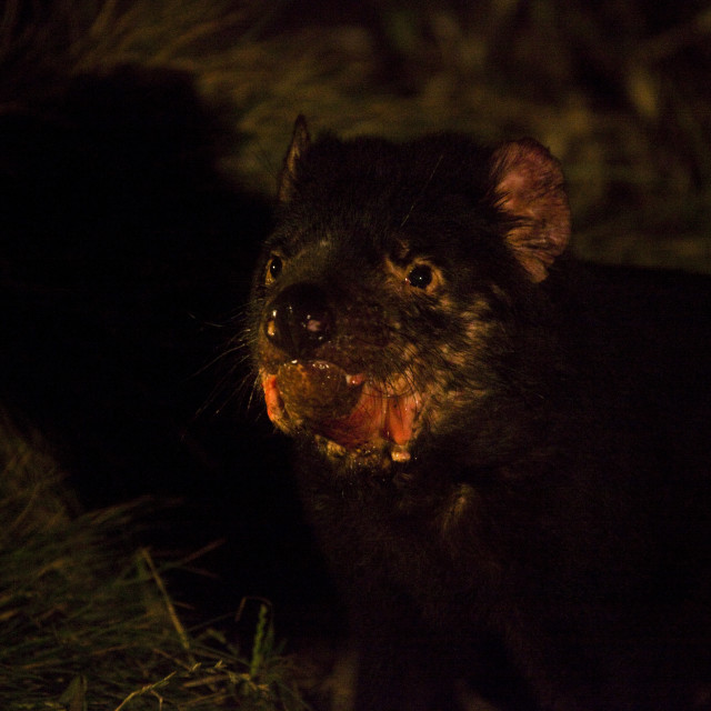 """Wild Tasmanian Devil feeding on dead wallaby"" stock image"